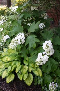 oak leaf hydrangea is beautiful this year